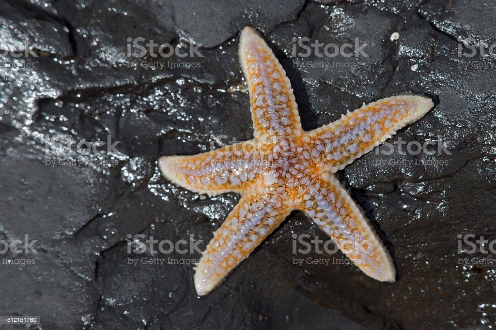 Common Starfish (Asterias Rubens) stock photo