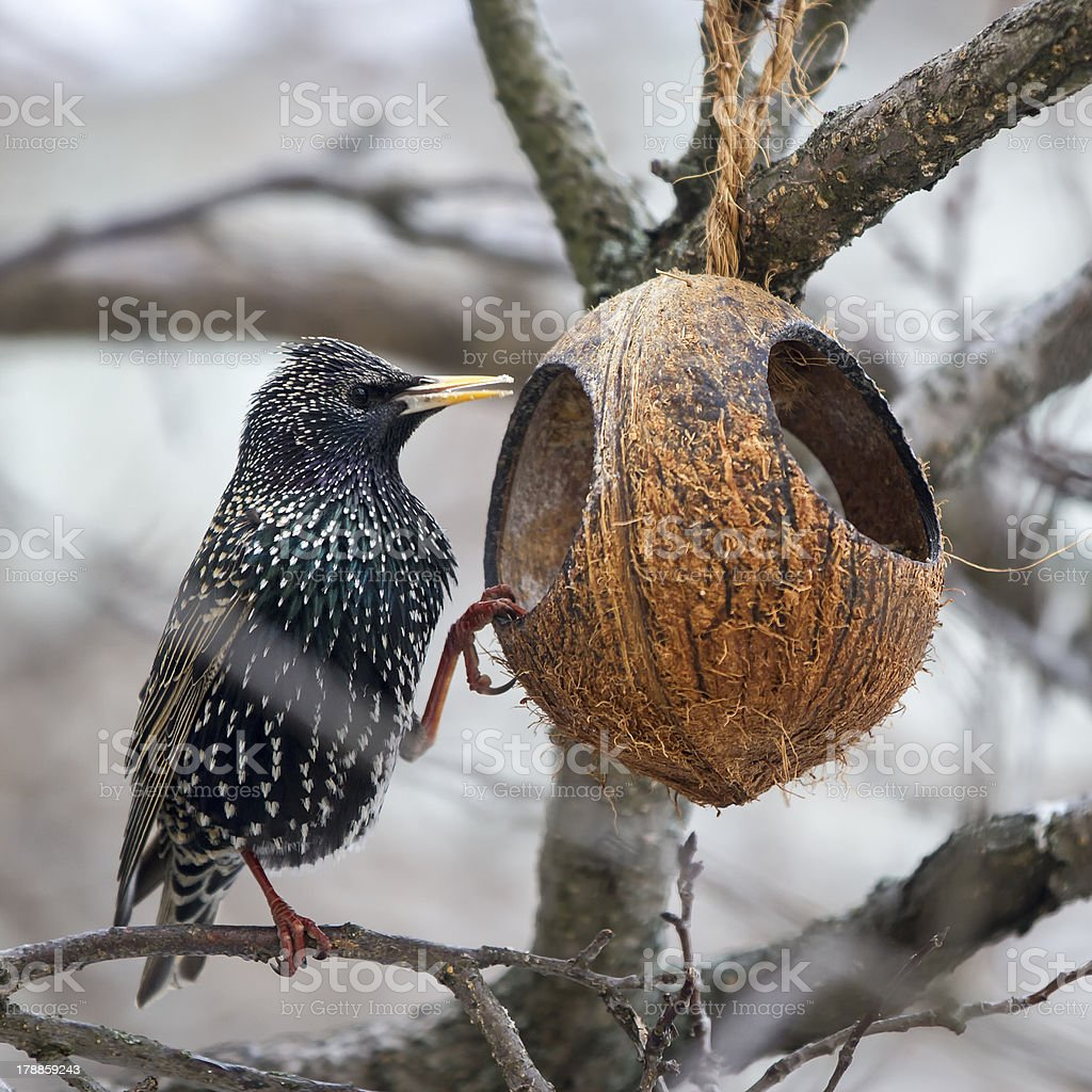 Common Starling at a feeding place royalty-free stock photo
