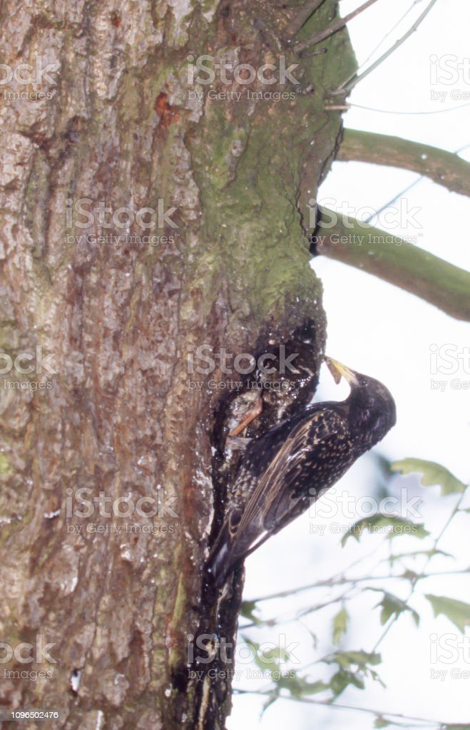 Spreeuw (Sturnus vulgaris) door Nest foto