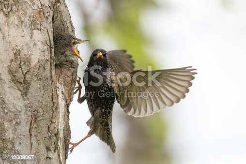 Calling common starling chick and parent at a tree hole.