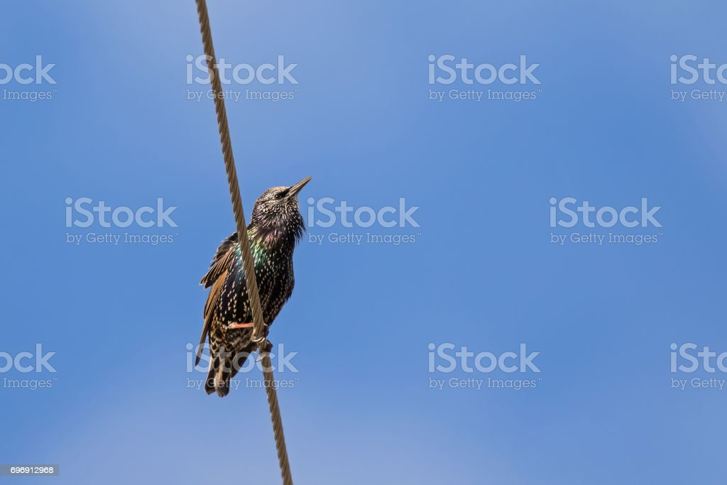 Common starling, European starling bird in black with metallic sheen perching on cable in Tasmania, Australia stock photo