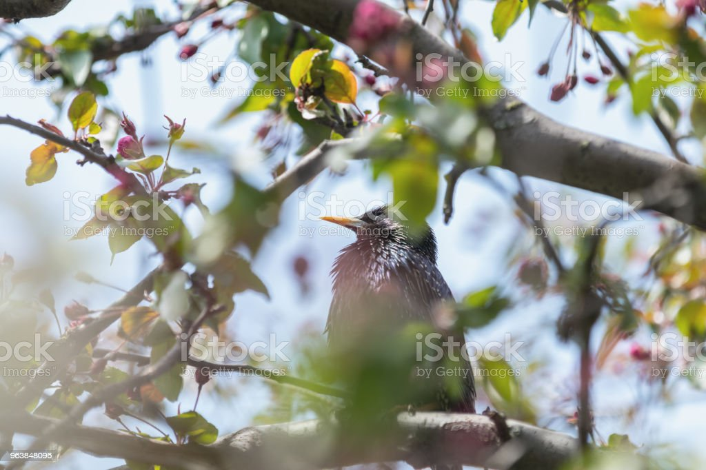 Common starling on a pink apple tree blossom branch - Royalty-free Animal Stock Photo