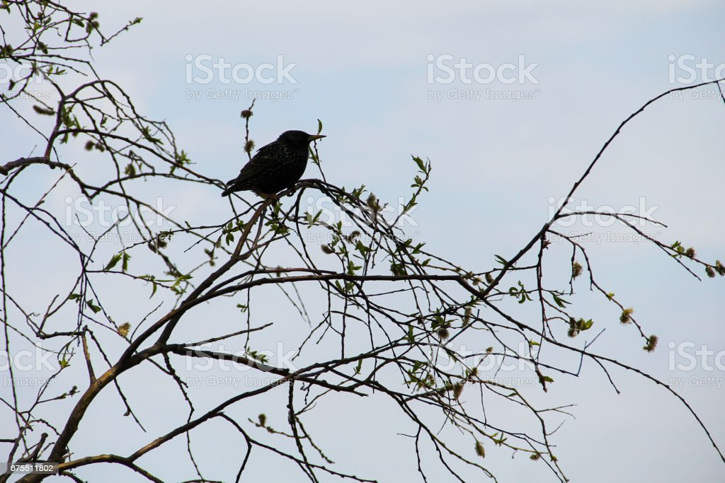 Common starling (Sturnus vulgaris) on tree branch royalty-free stock photo