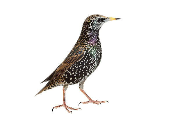 Common Starling stock photo
