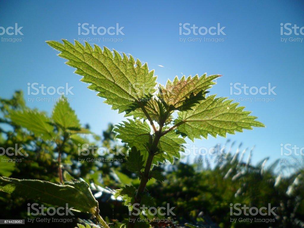 Common stinging nettle leaves stock photo