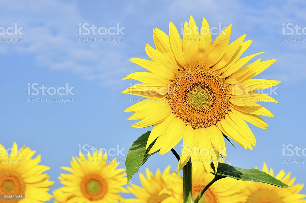 Common Sunflower (Helianthus Annuus) Close-up Against A Field royalty-free stock photo
