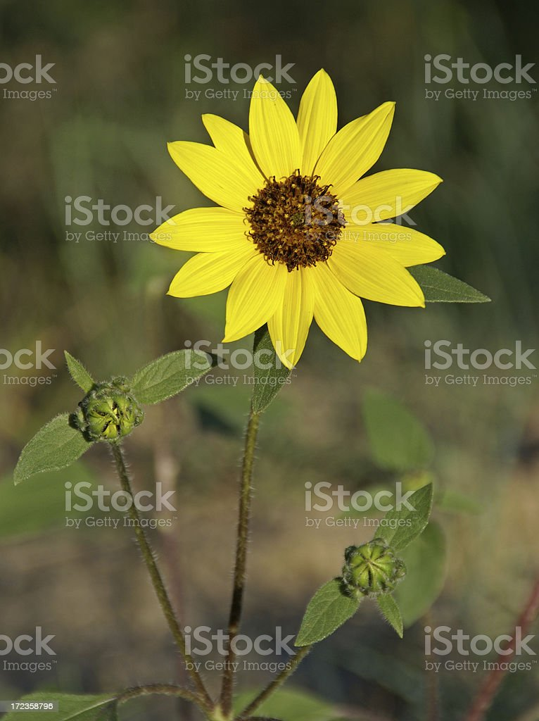 Common Sunflower royalty-free stock photo