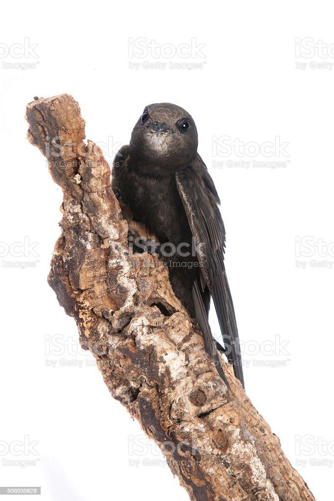Common Swift on white stock photo