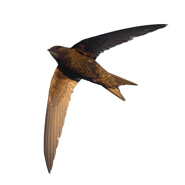 Common Swift stock photo