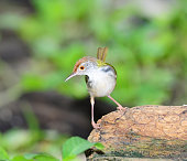 istock Common Tailorbird (Orthotomus sutorius) , in nature, in Thailand 1084743080