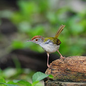 istock Common Tailorbird (Orthotomus sutorius) , in nature, in Thailand 1084743098