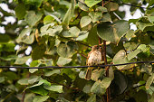 istock Common Tailorbird on tree . 1151725340