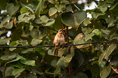 istock Common Tailorbird on tree . 1155979692