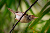 istock Common Tailorbird  - Orthotomus sutorius bird in the family Cisticolidae. It is found in Brunei, Indonesia, Malaysia, Myanmar, the Philippines, Singapore, and Thailand, Vietnam. 1221047568