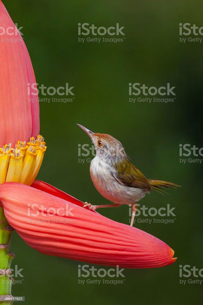 Common Tailorbird stock photo