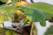 istock Common Tailorbird (Orthotomus sutorius) race