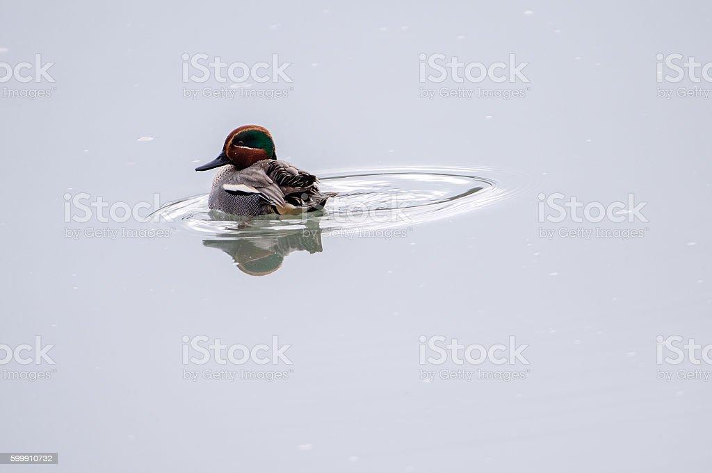 Common teal (Anas crecca) - Natural Reserve Tevere-Farfa stock photo