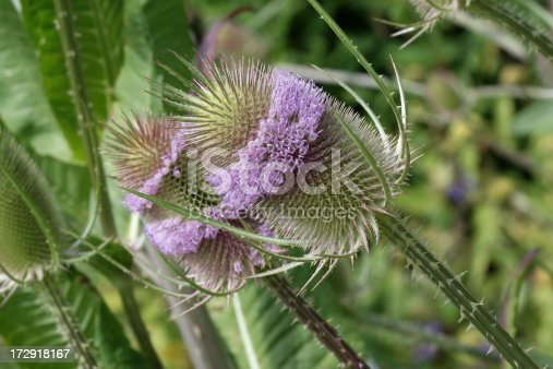 Common teasel in a natural setting. Focus on foreground. Image was taken in de Kruidhof a beautiful mostly herb garden in Friesland the Netherlands.