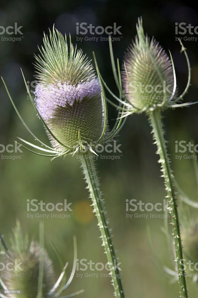 Common Teasel royalty-free stock photo