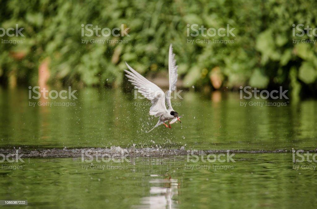 Common tern catching fish stock photo