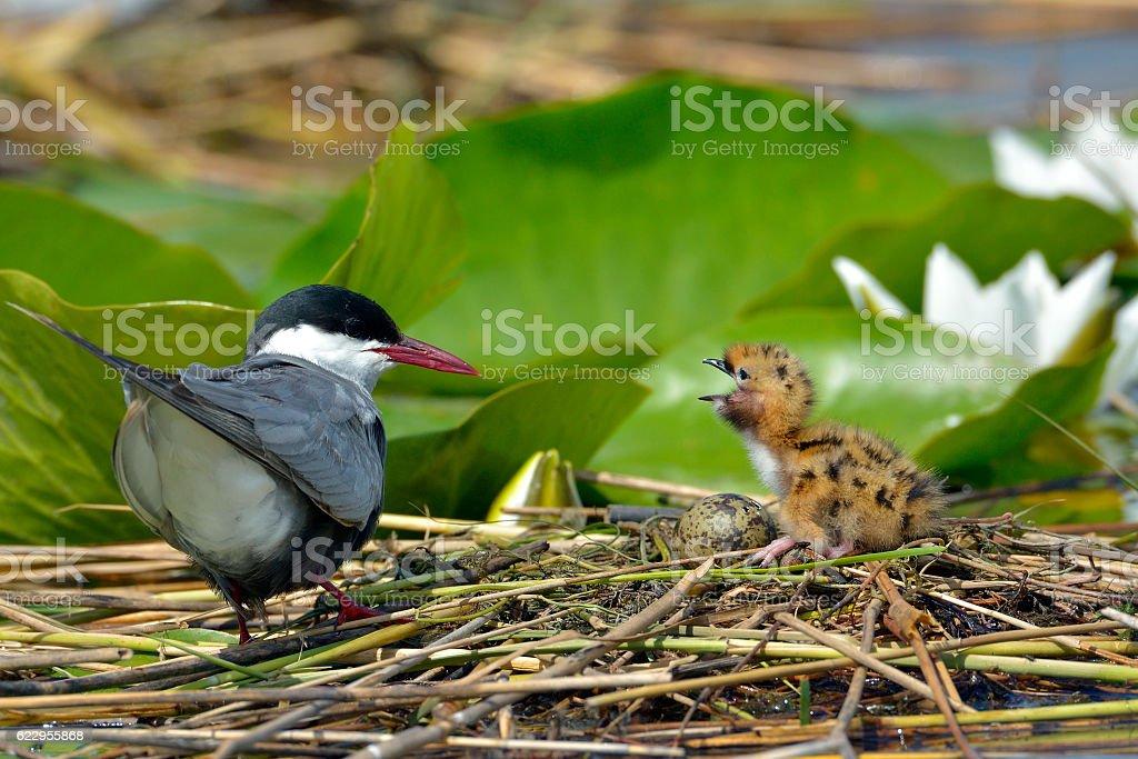 common tern feeding its chicks  (sterna hirundo) stock photo