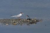 Common Tern in mating (Sterna hirundo)