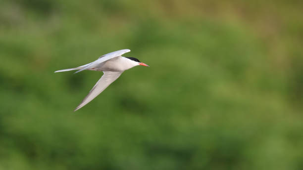 Common Tern stock photo