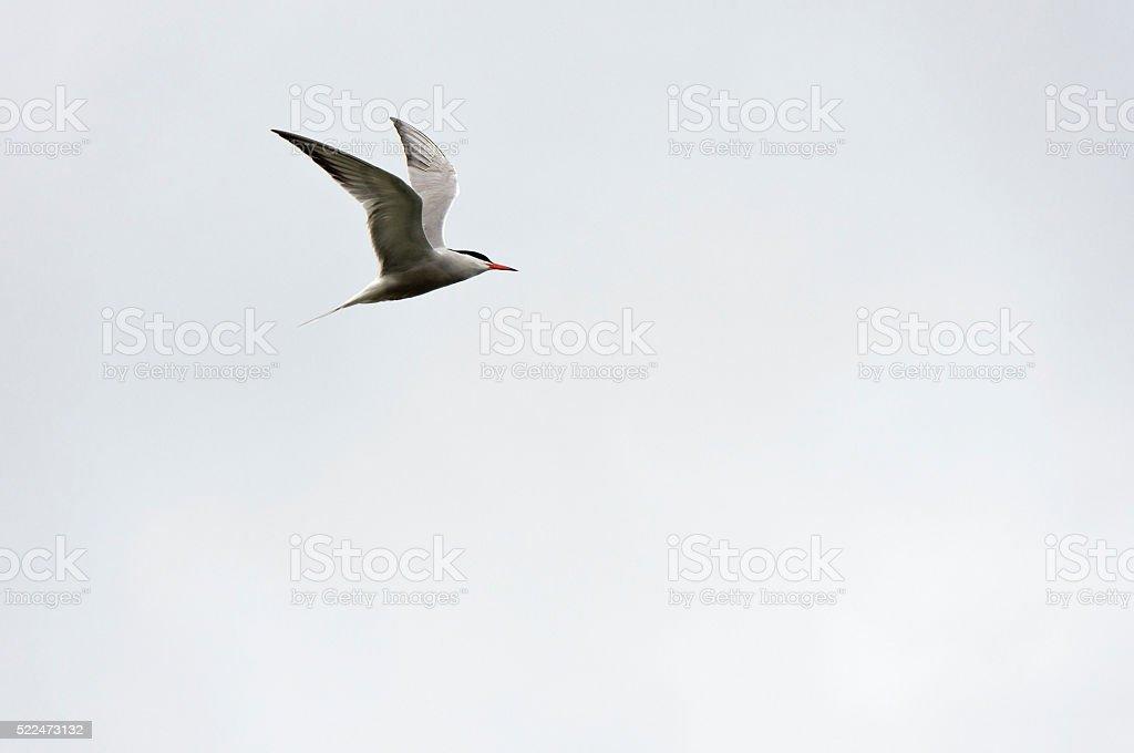 Common Tern – Foto