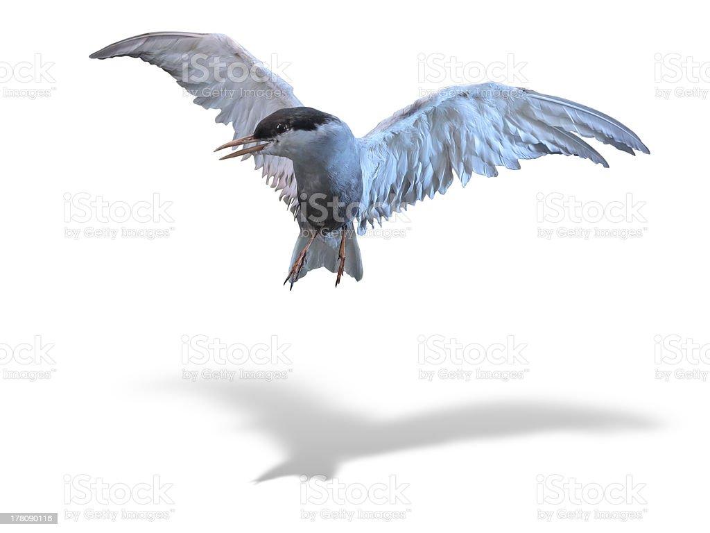 Common Tern sea bird in flight isolated over white stock photo