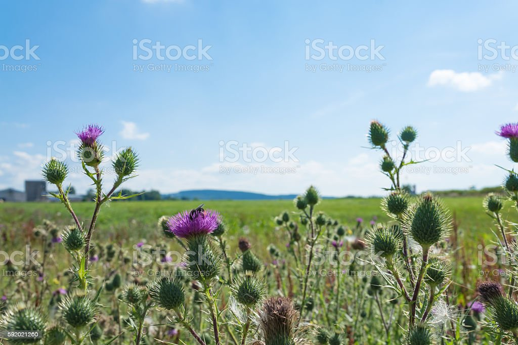 common thistle plants in summer stock photo