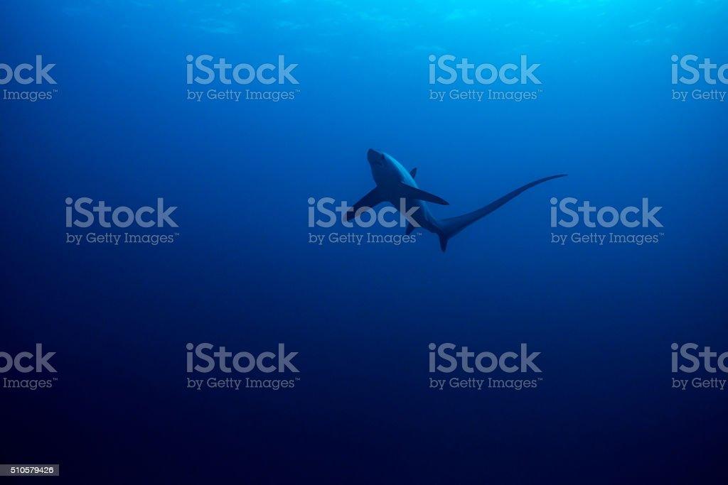 Common thresher shark stock photo