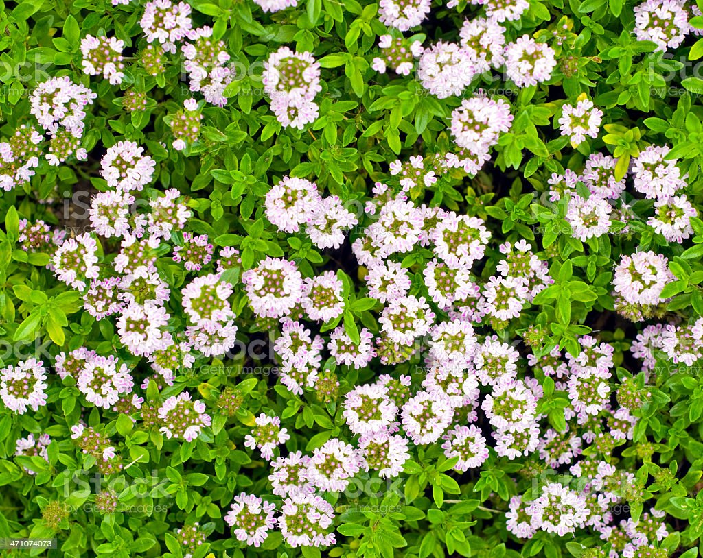 Common Thyme in Flower royalty-free stock photo