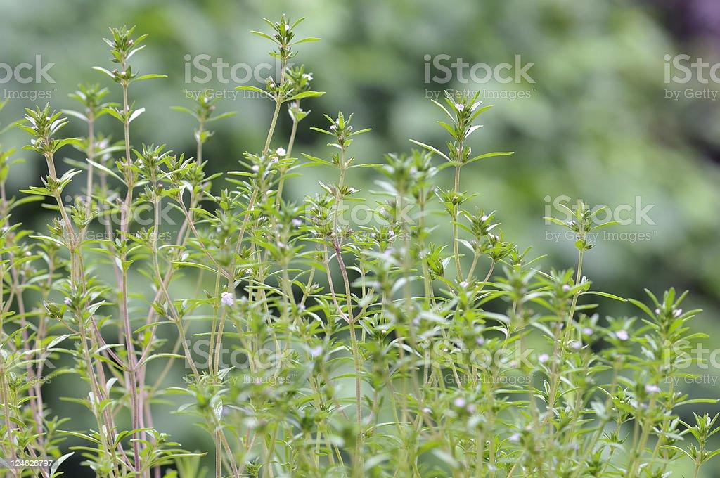 Common Thyme royalty-free stock photo