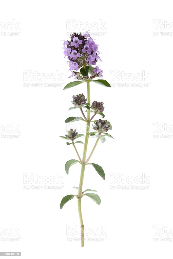 Common Thyme (Thymus vulgaris) stock photo