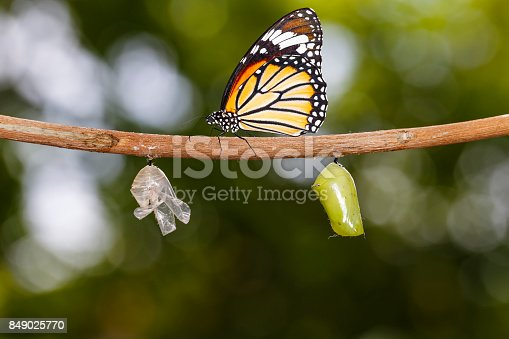 538988558 istock photo Common tiger butterfly hanging on twig with chrysalis and shell 849025770