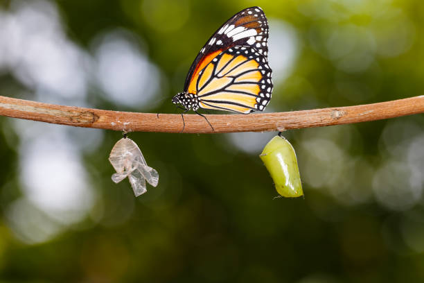 Common tiger butterfly hanging on twig with chrysalis and shell Common tiger butterfly ( Danaus genutia ) hanging on twig with chrysalis and shell dorsal surface stock pictures, royalty-free photos & images