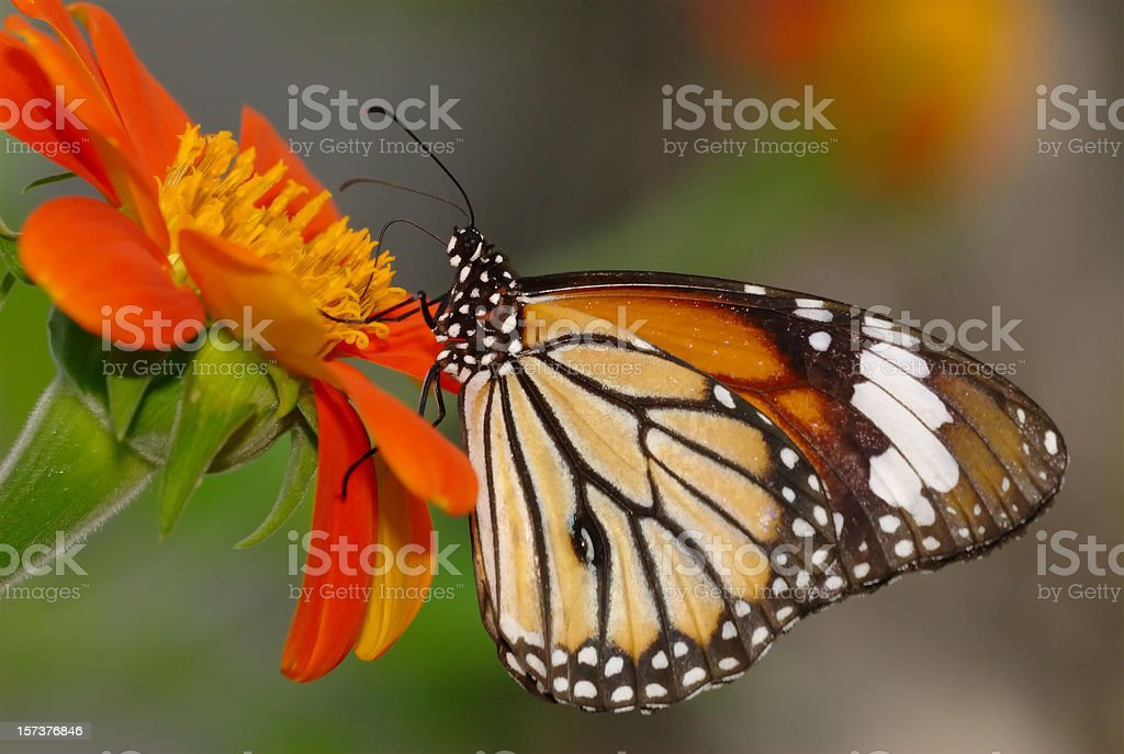 Common Tiger (Danaus genutia) in Thailand stock photo