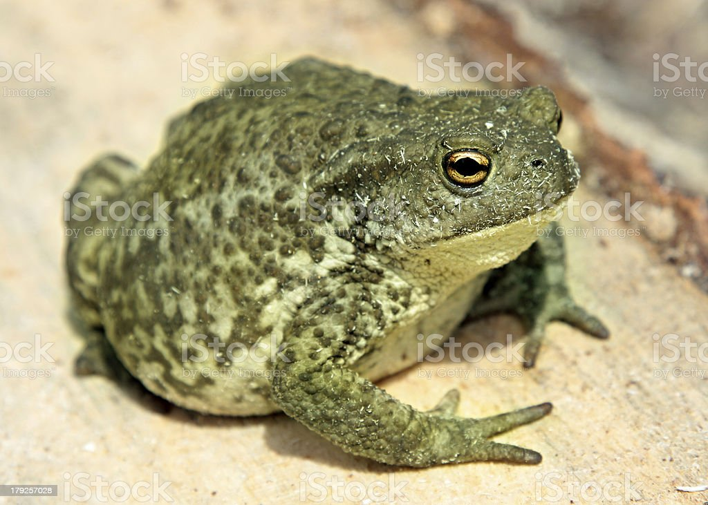 common toad bufo royalty-free stock photo