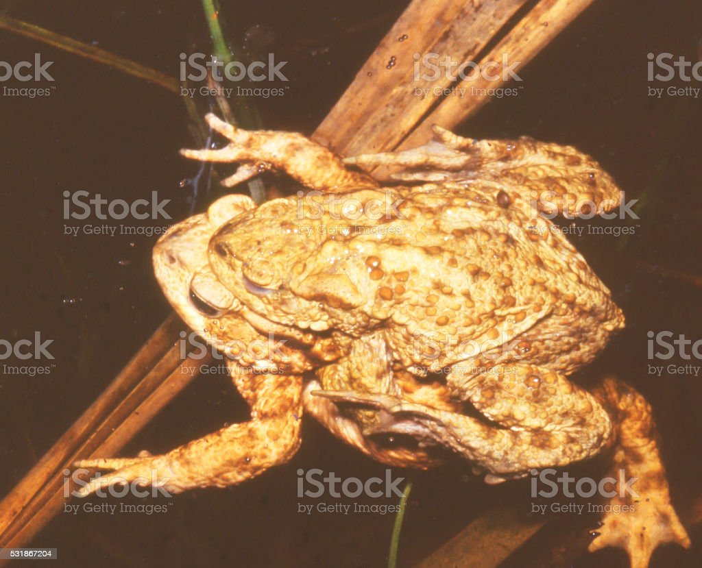Common Toad (Bufo bufo) in courtship foto