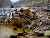 Common toad in mating (Bufo bufo)