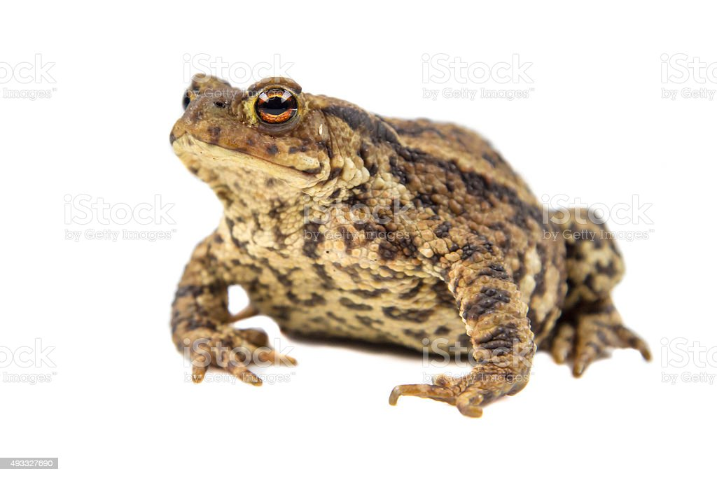 Common toad on white background stock photo