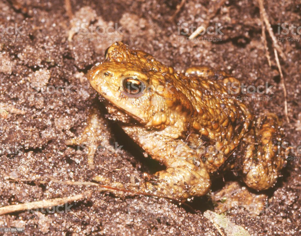 Common Toad (Bufo bufo) foto