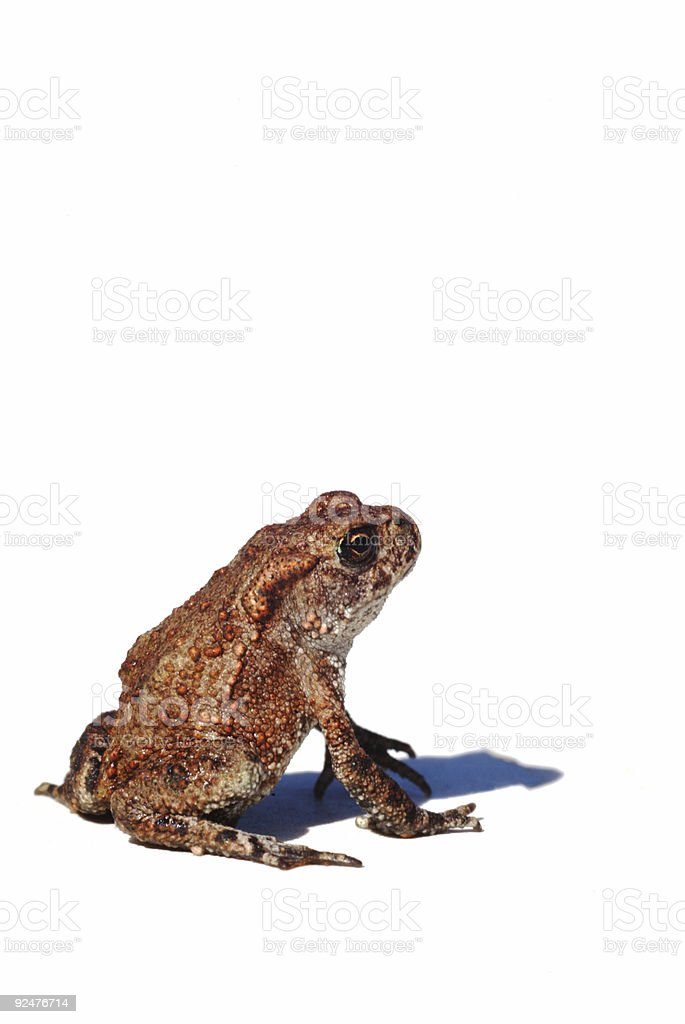 Common Toad royalty-free stock photo