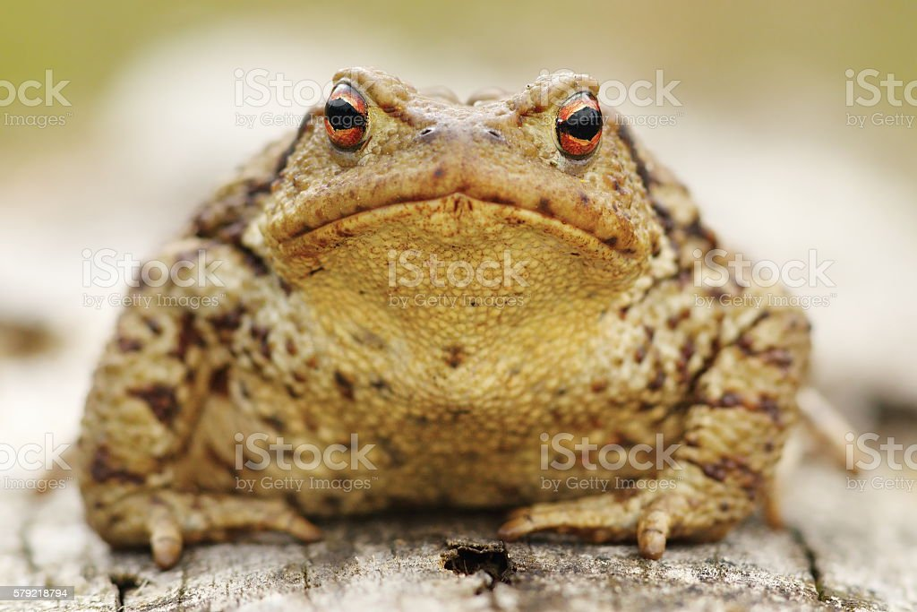 common toad portrait stock photo