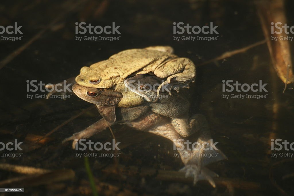 Common toads stock photo
