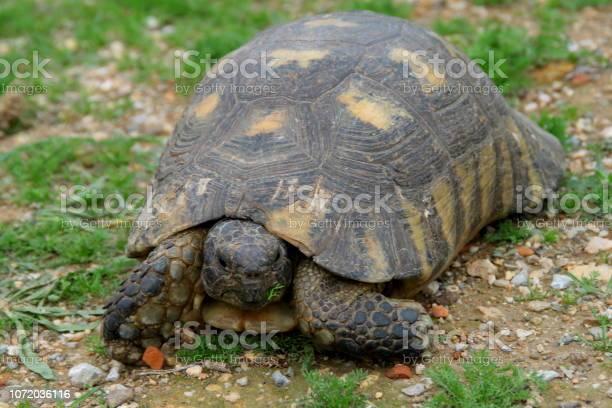 Common tortoise picture id1072036116?b=1&k=6&m=1072036116&s=612x612&h=yzxmjcdxoh slvmv maze8ob tis7mgeidhdmkxfd2s=