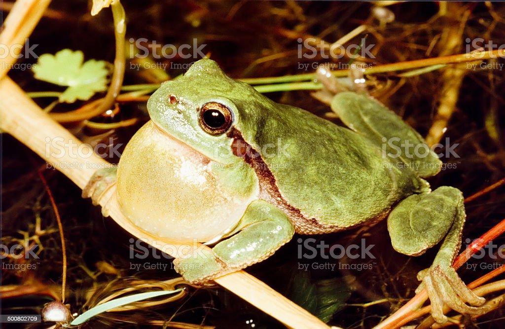 Common tree frog (Hyla arborea), Male Calling foto
