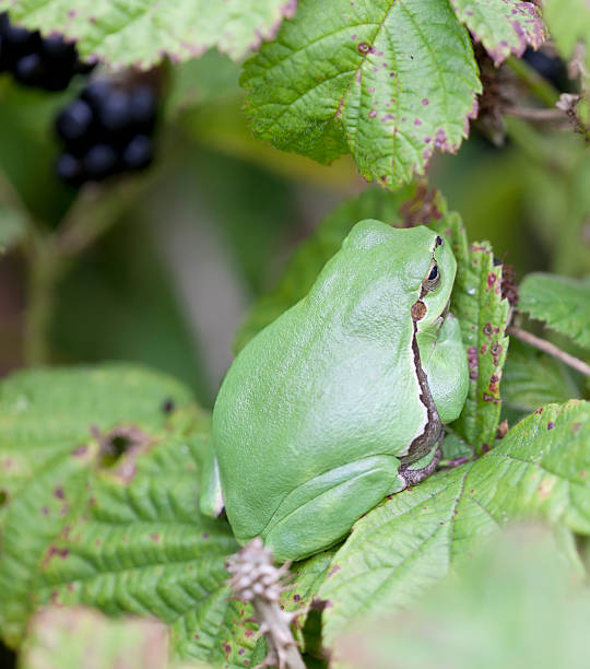 common tree frog (hyla arborea) - mantonature amfibieen stockfoto's en -beelden
