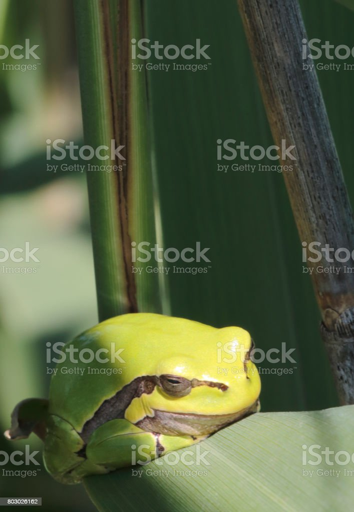 Gemeenschappelijke boomkikker (Hyla arborea) foto