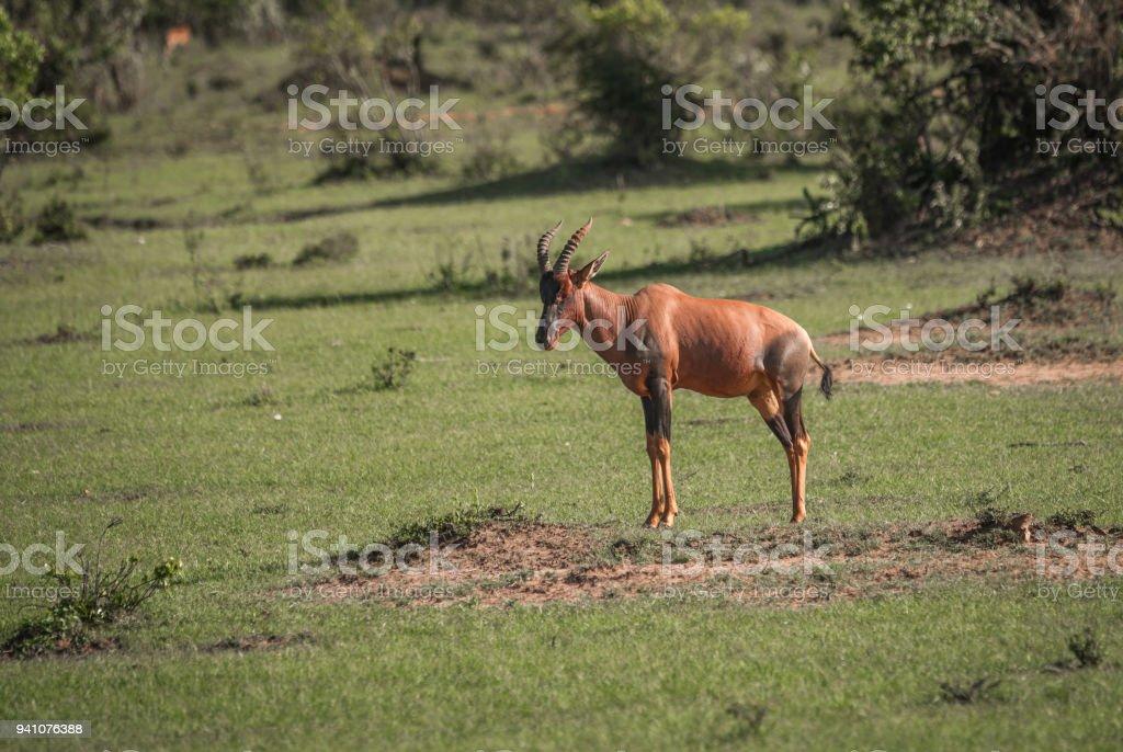 Common tsessebe on a grass field in Masai Mara stock photo
